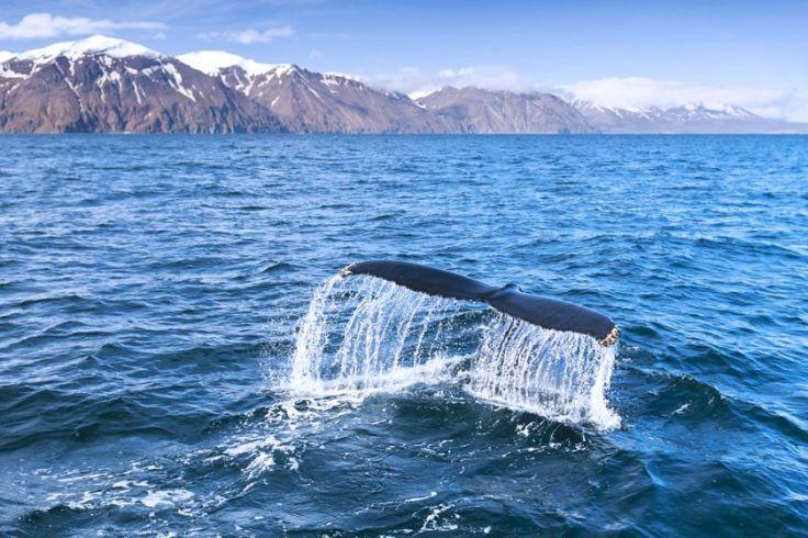 Whale_Iceland_autoresized